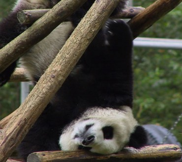 10 Signs That Prove Pandas Are Destined For Extinction